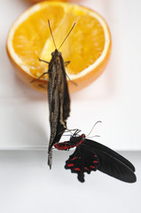 A Caligo Eurilochus butterfly feeds on an orange as a Consul Fabius sits on its wing at the studio of photographer Alexander James in London