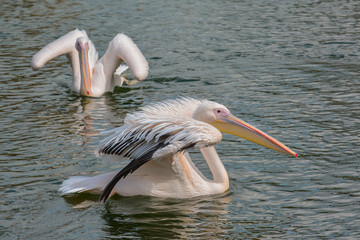 Pelikane im Park