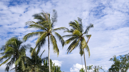 Coconut tree nature against with blue sky swaying in wind.