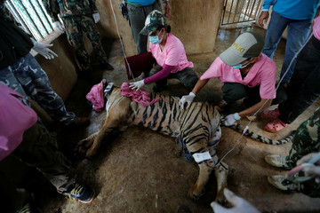 A sedated tiger is seen in an enclosure as officials continue moving live tigers from the controversial Tiger Temple, in Kanchanaburi province, west of Bangkok