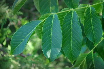 Green leaves of walnut tree close up.