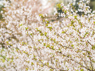 Branch with blossoms Sakura. Abundant flowering bushes with pink buds cherry blossoms in the spring. Prunus incisa