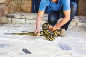 Spotted pithon is taken by a man in the street. Safety from reptiles.