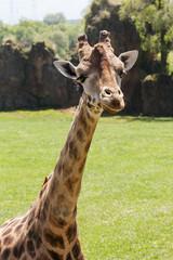 Giraffe's neck and head