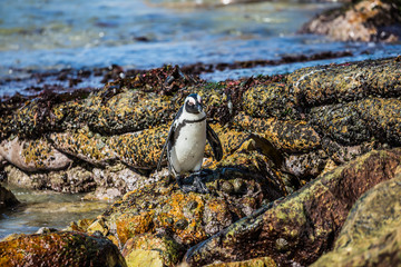 African black-white penguin