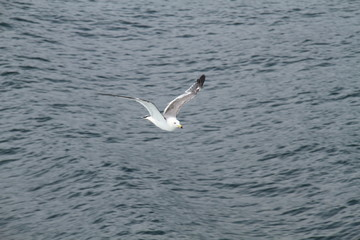 Sea gull flys on the sea