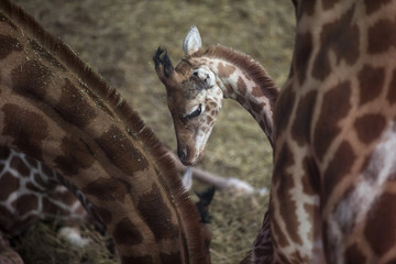 A young giraffe stands amongst adults at the Paris Zoological Park in the Bois de Vincennes in the east of Paris