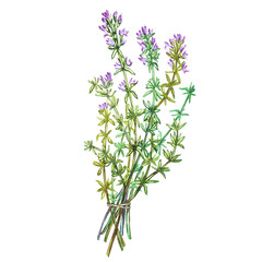 Botanical drawing of a thyme. Watercolor beautiful illustration of culinary herbs used for cooking and garnish. Isolated on white background.