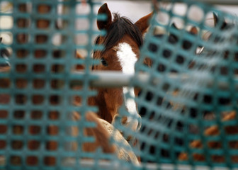 Wild horses are corralled after they were gathered in the West Desert of Utah, outside Tooele