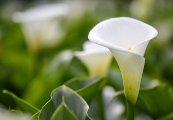 Close up  of beautiful white Arum Lily