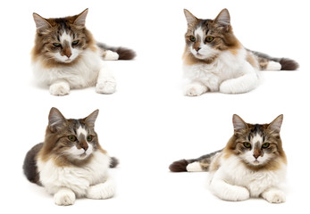 Fluffy cat isolated on white background.