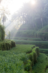 Terrace rice fields in Ubud, Bali, Indonesia