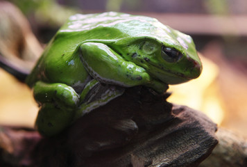 The Abah River Flying Frog, commonly known as Wallace's flying frog, is seen in a terrarium of the Royev Ruchey zoo in a suburb of Russia's Siberian city of Krasnoyarsk