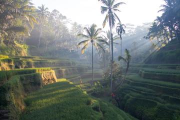 Terrace rice fields in Ubud, Bali, Indonesia