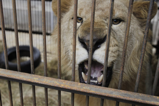 """Rescued lion """"Chino"""" roars in its cage during quarantine at a temporary custody center in Lima"""