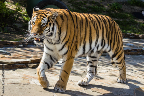 The Amur tiger