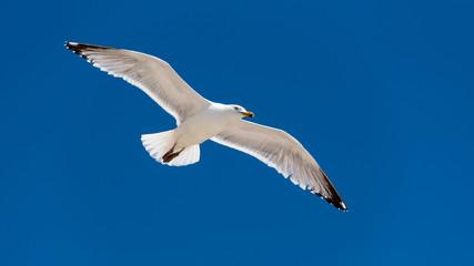 A herring gull in flight against a bright blue sky