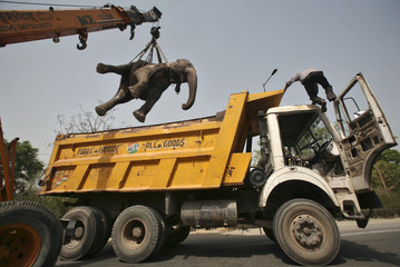 A crane removes the carcass of elephant after it was hit by a truck and killed at the Noida expressway on the outskirts of New Delhi