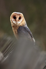 The barn owl (Tyto alba) sitting on a wooden fence