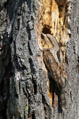 The Eurasian wryneck (Jynx torquilla) sitting on the dry trunk, a typical example of animal camouflage