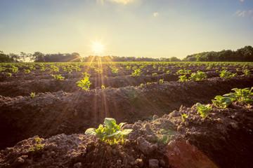 Kartoffelanbau - Jungpflanzen im Gegenlicht der untergehenden Sonne