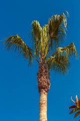 Beautiful palm tree with green leaves against a bright blue sky. Palma - a traditional representative of southern nature and flora grows under bright sunlight.