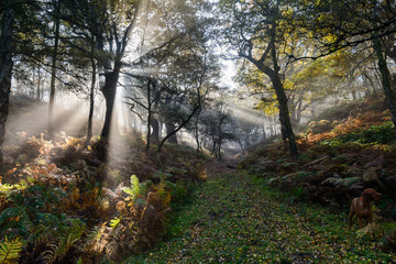 fog in the forest with sunbeams trough branches in autumn