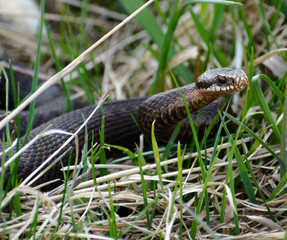 Snake Vipera berus nikolskii in nature