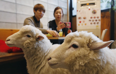A woman takes photographs of sheep at a sheep cafe in Seoul