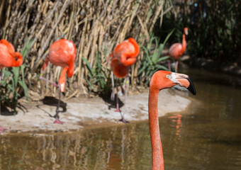 photo bombing Pink flamingo at the zoo