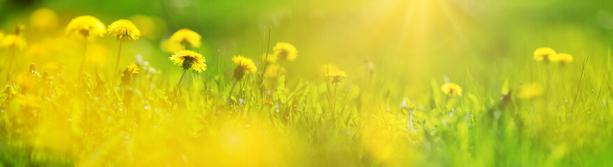 Wall Mural - Green field with yellow dandelions. Closeup of yellow spring flowers on the ground