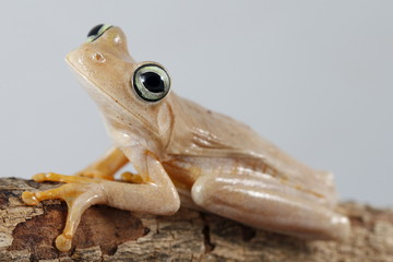 A Hypsiboas crepitans frog is pictured at a terrarium in Caracas