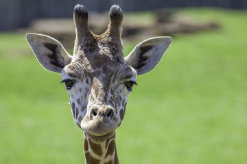 Young baby giraffe looking at camera. Head shot with focus on eyes.