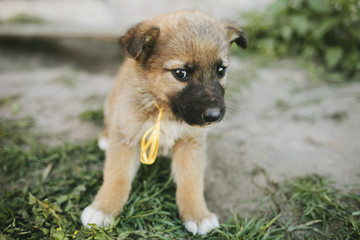 Puppies German shepherd