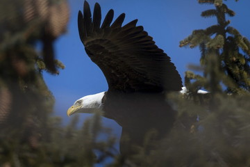 An American Bald Eagle takes off from its perch high in a pine tree above the Hudson River at Croton Point in Croton on Hudson