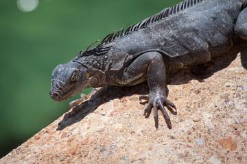 Dark Iguana