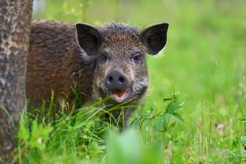 Wild boar in forest Wall mural