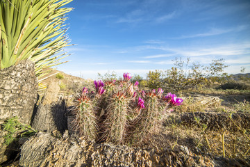 Cactus flowers blooming in the desert