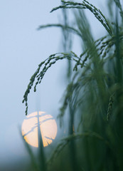 Rice flowers are seen on a paddy field in Tay Mo village, outside Hanoi