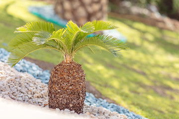 small palm tree with rocks in hotel resort