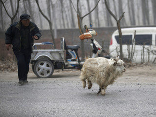 A farmer chases a goat with its front legs bound as it runs away from a slaughterhouse at Dashiwo village, on the outskirts of Beijing