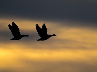 Två Vitkindade gäss som flyger i solnedgång