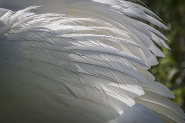 Detail of Swan Wing