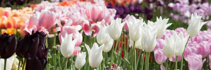Tulpen auf einem Feld - Banner