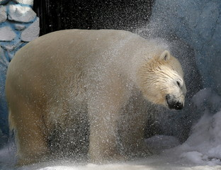Felix, a 9-year-old male polar bear, shakes off water after swimming in a pool for the first time after winter at the Royev Ruchey zoo in a suburb of Russia's Siberian city of Krasnoyarsk