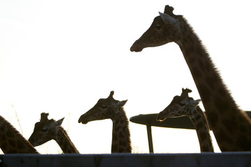 Giraffes gather at the Paris Zoological Park in the Bois de Vincennes in the east of Paris