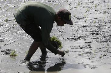 A farmer plants rice seedlings at a field in Gloria