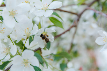bee on a flower. The bee pollinates flowers. Blossoming of an apple-tree.