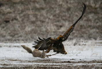 A tamed golden eagle attacks a corsac fox during an annual hunting contest in Chengelsy Gorge east of Almaty