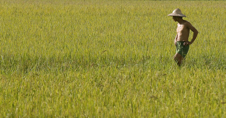 A farmer visits his rice paddy field in Cong Chua village, outside Hanoi